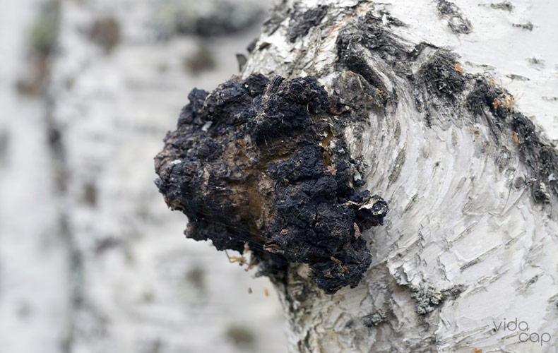 what-is-chaga