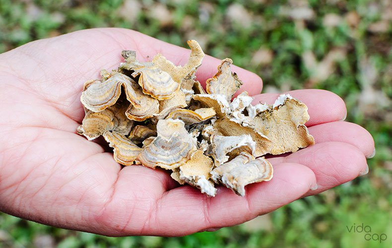 image-what-are-turkey-tail-mushrooms