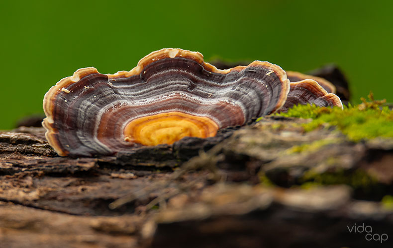 article-image-what-are-turkey-tail-mushrooms